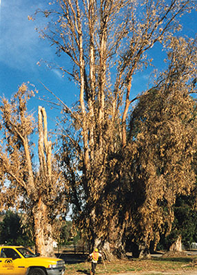 Eucalyptus diagnosis